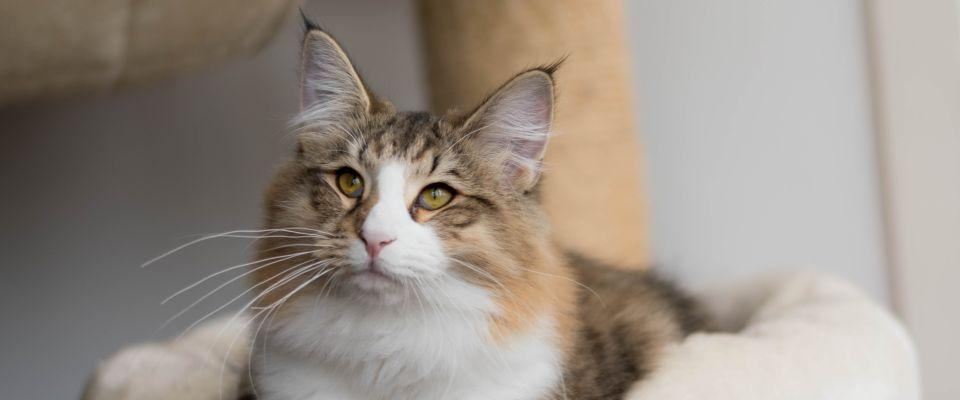 Norwegian Forest Cat Beatrice