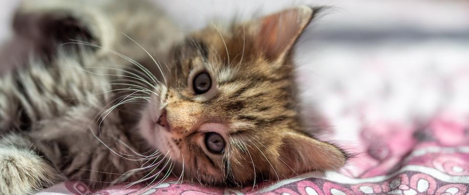 Norwegian Forest Cat Litter B