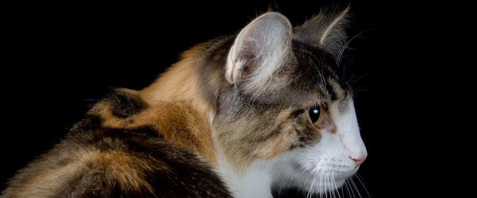 Norwegian Forest Cat Perla (A Star is Born)