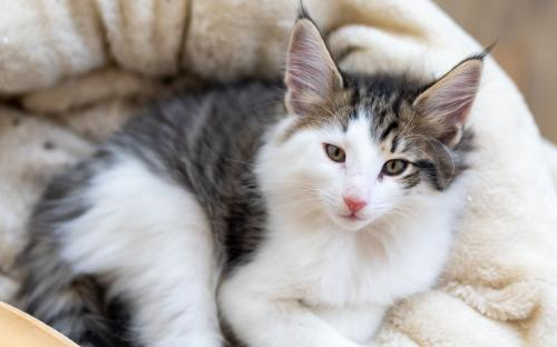 SI Star of Norway Leglo B Norwegian Forest Cat